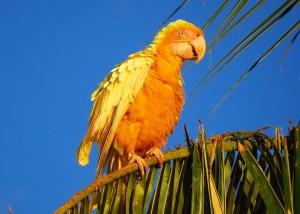 ein goldgelber Ara mit geplustertem Gefieder sitzt auf einem Palmblatt