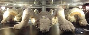 Widderschädel, der mit einem Rasen von Selenit-Kristallen bedeckt ist