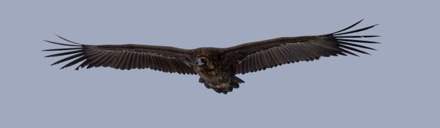 Der Mönchsgeier ist ein riesiger, schwarzer Vogel.