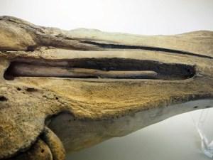 aufgeschnittener Narwalschädel mit Rudiment des zweiten Stoßzahns