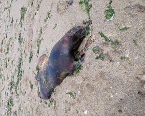 Unbekannter Kadaver am Strand 2