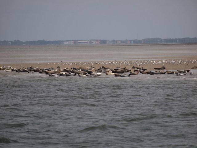 Zahlreiche Seehunde auf einer Sandbank