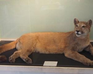 1980 eingefangener Puma Felicity im Museum Inverness