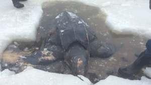 Eine Schildkröte liegt in einem Loch im Eis