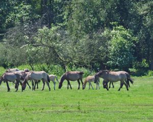 Eine Gruppe fahler Pferde auf einer Weide vor Bruchvegetation