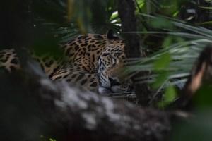 Jaguar liegt im Schatten des Regenwaldes