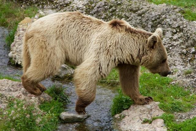 Ein relativ heller Braunbär überquert ein Rinnsal