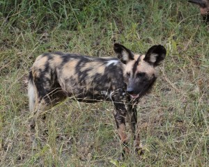 Afrikanischer Wildhund steht in hohem Gras