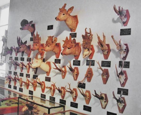 Wand mit zahlreichen Kopf- und Geweihpräparaten