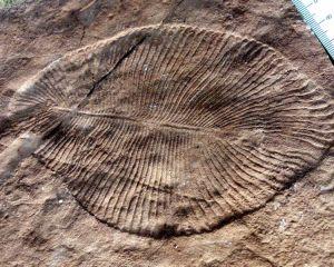 Fossil einer großen Dickinsonia