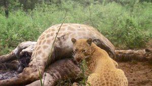 Strawberry Leopard by Alan Watson Black Leopard Lodghe