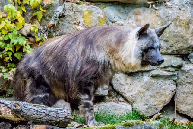 Ein Strandwolf im Zoo