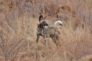 Einzelner Wildhund im hohen Gras