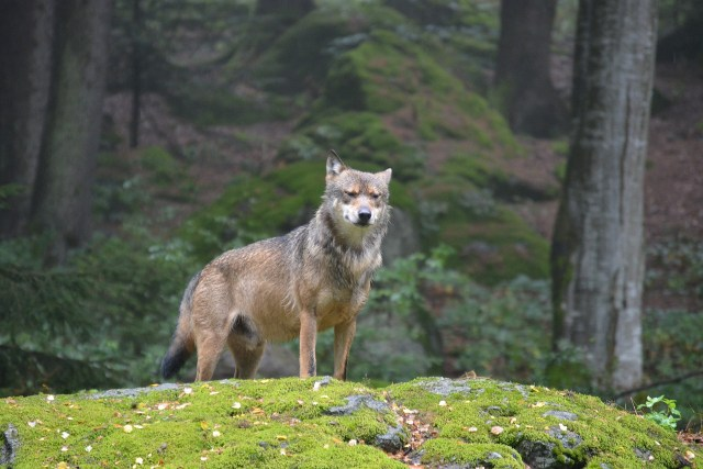 Wolf auf einem bemoosten Felsen