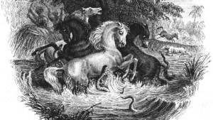 Zeichnung verängstiger Pferde, die von Zitteraalen angegriffen werden