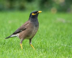 Ein mittelgroßer, brauner Vogel mit gelbem Schnabel und gelben Beinen auf einer Wiese