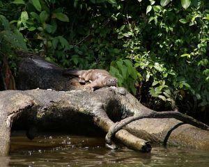 Südamerikanischer Fischotter