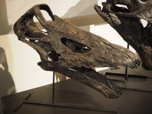 Diplodocus-Schädel