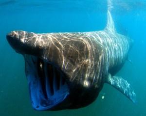 Riesenhai, Basking Shark