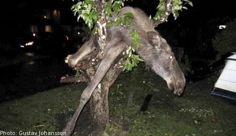 Der betrunkene Elch im Aofelbaum