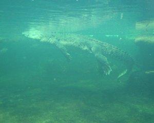 Krokodil unter Wasser