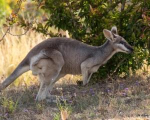 Das Wallaby als Vorbild für Dinosaurier