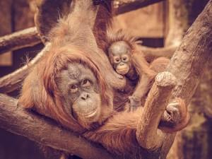Orangutan Lea-Suria