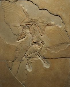 Archaeopteryx lithographica Berliner Exemplar
