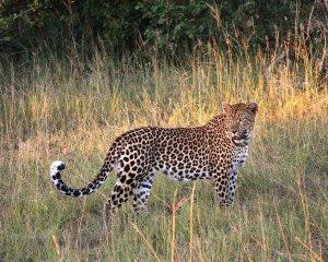 Ist ein Leopard die Raubkatze im Isergebirge?