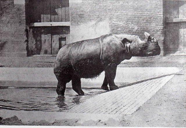 Begum, ein Sumatra-Nashorn
