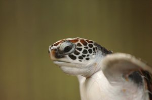 Junge unechte Karettschildkröte