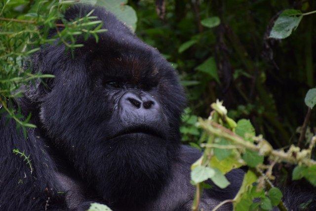 Haut und Haar schwarz, der Kikomba?