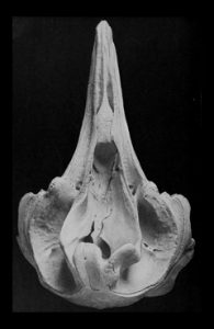 Ziphius-cavirostris