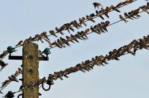Schwalben auf der Telegrafenleitung