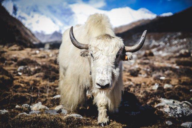 weißer Yak