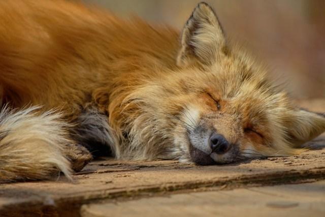 Japanischer Fuchs