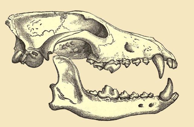 Wolfsschädel mit deutlich erkennbarem Gebiss