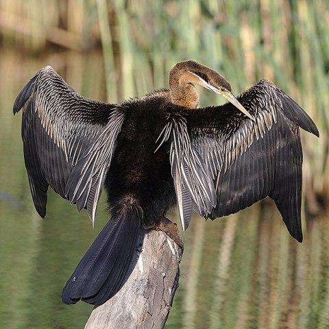 Afrikanischer Schlangenhalsvogel