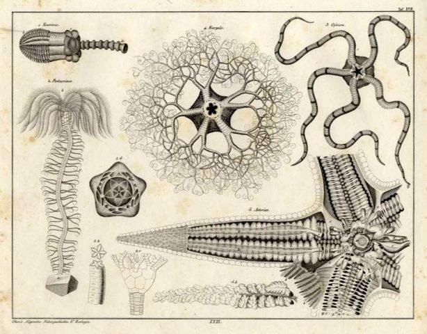 Oken's Sternwürmer