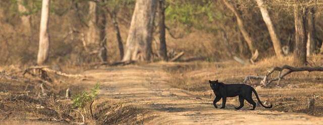 Schwarzer Panther im Rajiv Ghandi NP