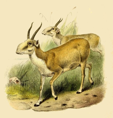 """Saiga-Antilopen nach Philip Sclater's """"Book of Antelopes"""""""