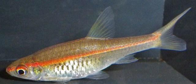 Auch diese Fische haben orangefarbene Leuchtstreifen