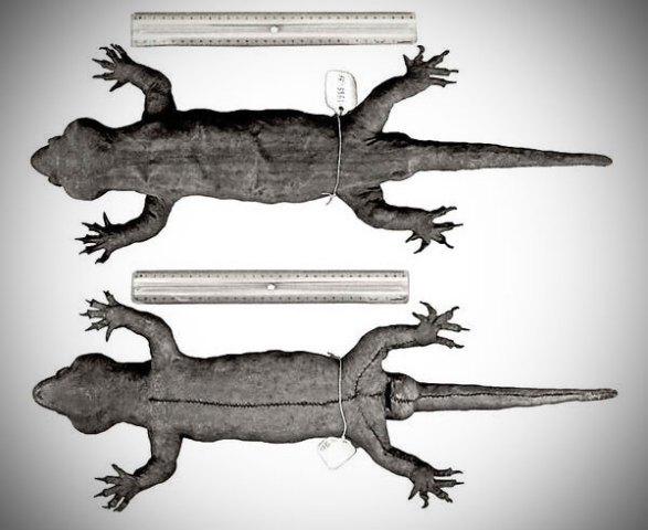Hoplodactylus delcourti