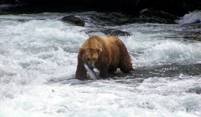 Grizzly im Wasser