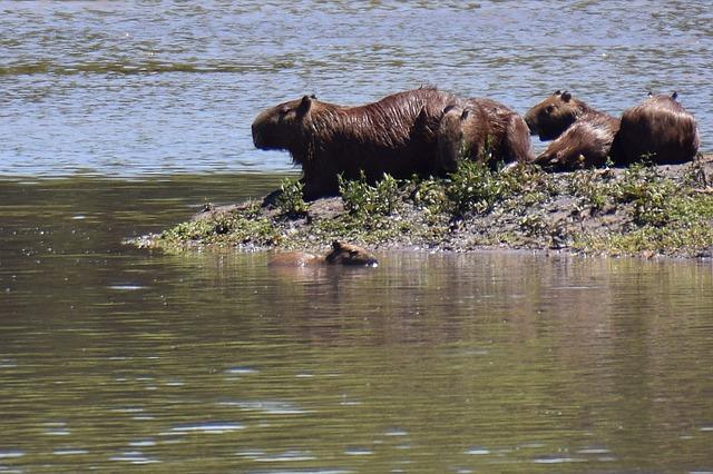 Gruppe von Capybaras in der Wildniss