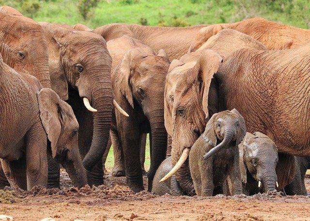 Waldelefanten