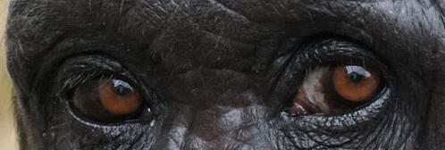 Augenpartie eines Schimpansen