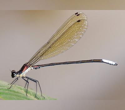 Caliphaea hermannkunzi Zhang & Hämäläinen, 2020