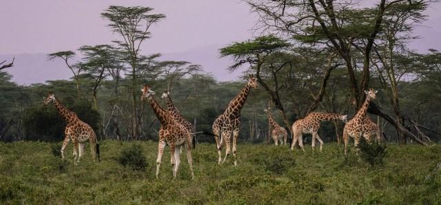 Giraffengruppe am Lake Nakuru, Kenia
