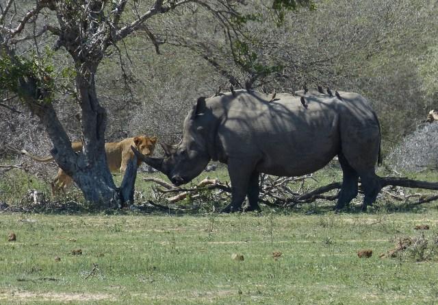 Breitmaulnashorn Kruger Natuonalpark